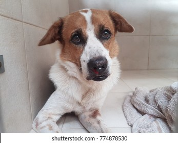 A white and brown dog, A street/homeless dog had a nosebleed(Epistaxis) from his nose caused by Ehrlichia Canis and Anaplasma platys infection.Tick-borne diseases.A Common disease in Asian dogs.