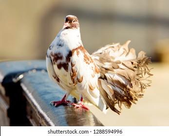 White brown dove (pigeon bird) on fence near river. Beautiful wedding dove pigeon in city. White brown feather pigeon dove bird closeup portrait. White brown bird cityscape. Animal peace theme macro