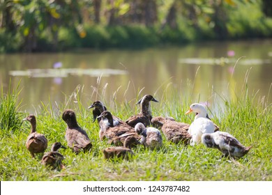 White and brown ducks on green grass with lake in nature park