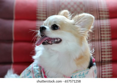 White and brown female Chihuahua dog.