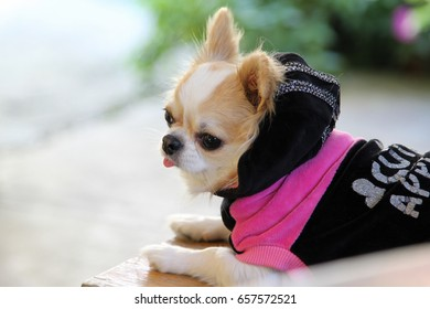 White and brown female Chihuahua dog.