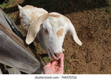 White and brown goats being petted and feeding on farm