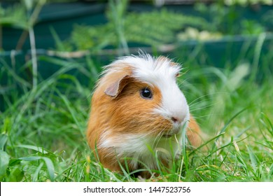 White brown guinea pig in the garden on green grass.