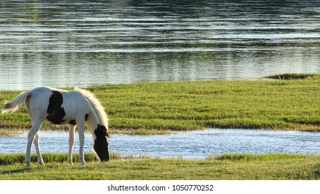 The white and brown horse or foal is drinking wáter on the shore of the Rio Negro, the Surface is covered of a green kind of Grass called 'gramilla'.