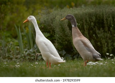 White and brown Indian runner duck free range in the garden