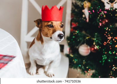 White and brown jack russell dog wears red crown, being a symbol of New Year, sits near decorated fir tree, looks into distance as waits for something delicious from host. Celebration concept