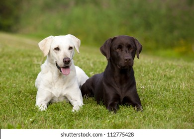 A white and a brown labrador retriever female are lying in the green grass in a park.