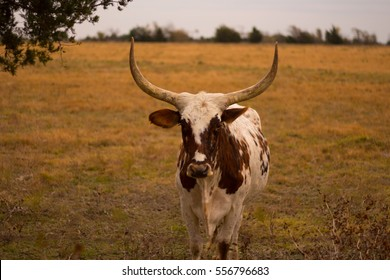 white and brown longhorn