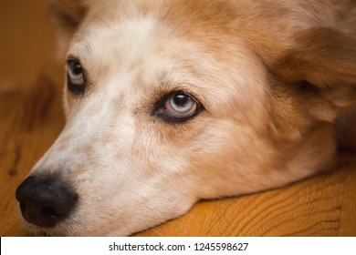 A white and brown mixed-breed dog with bright blue eyes lays on a wooden floor, looking bored.