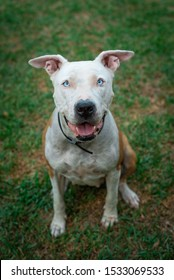 White and brown pitbull american stanford dog sitting down in grass. Smiling and lovely dog looking at the camera.