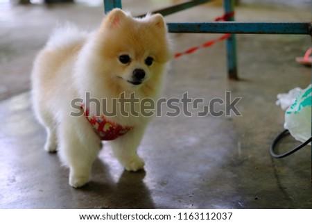 White Brown Pom Pom Pomeranian Dog Stock Photo Edit Now 1163112037