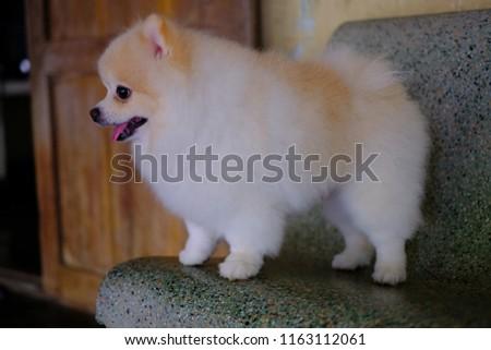 White Brown Pom Pom Pomeranian Dog Stock Photo Edit Now 1163112061