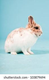 White brown rabbit isolated on blue background. Studio shot.