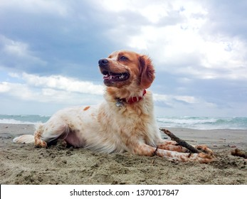 White and brown red young breton setter dog playing on sand beach