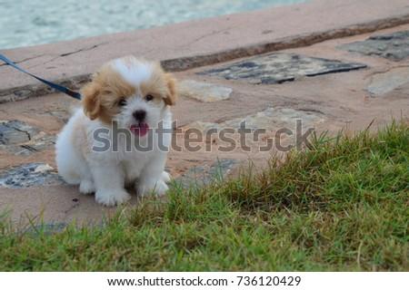 White Brown Shih Tzu Puppy Dog Stock Photo Edit Now 736120429
