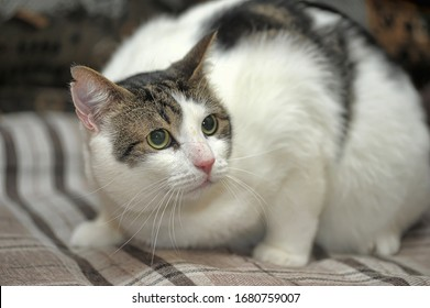 white and brown shorthair plump cat