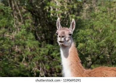 A white and brown smiling llama poses in the afternoon sunshine against a green background.