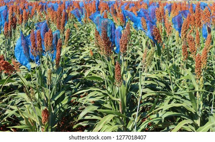 White and brown sorghum fields bicolor
