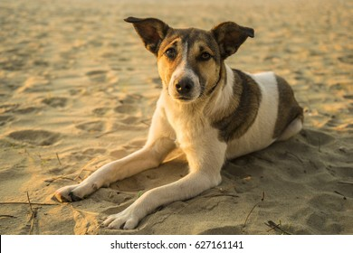 White and brown stray dog lying on sand at sunset looking straight in the camera. Very touching gaze with tears. The photo was taken in Albania at the Adriatic sea in Qerret to the south from Durres.