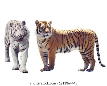 White And Brown Tigers isolated on white background