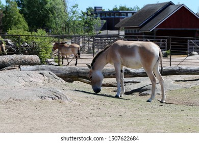 White and brown wild horse photographed in Korkeasaari, Helsinki. Beautiful mammal during a sunny summer day in natural like environment. Portrait style color image.