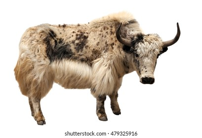white and brown yak (Bos grunniens or Bos mutus) isolated on white background