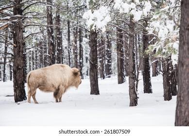 White Buffalo in Forest. Northern Arizona States. USA.