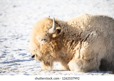 White buffalo laying in the snow