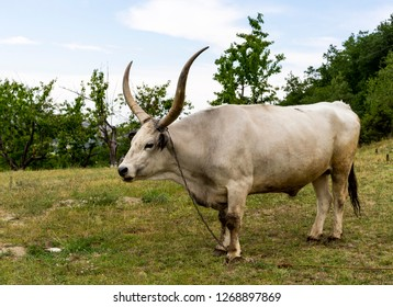 White Buffalo with long horns.