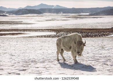 White buffalo in the mountains