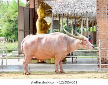 The white buffalo near the Bhudda