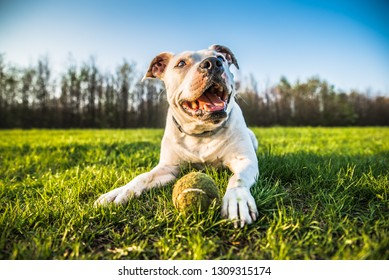 White bull dog with a ball lying on the grass