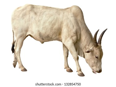 white bull is isolated