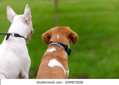 White Bull Terrier and Bicolor Beagle sitting side by side watching a green lawn in front of you