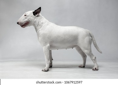 White bull terrier with black ears stands on a light gray background