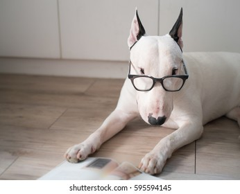 White bull terrier dog with vintage eyeglasses reading a book