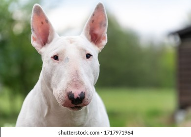 white bull terrier portrait with copy space