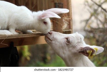 White bunny rabbit and goat kid touching noses