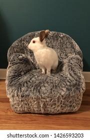 White bunny rabbit portrait on faux fur chair