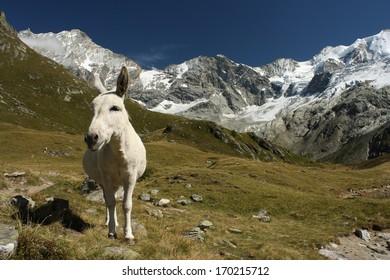 white burro in Swiss Alps