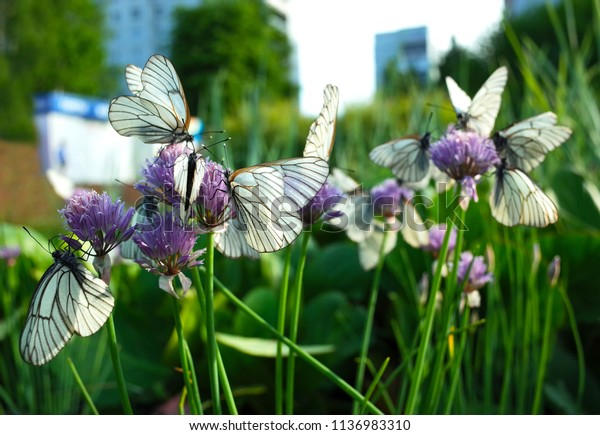 White butterflies with black veins gathers nectar on purple wild onion flower in city garden, Close up photo with soft focus of Hawthorn Aporia Crataegi in Koltsovo, Siberia, Russia