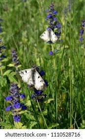 White butterflies mnemones in the meadow.