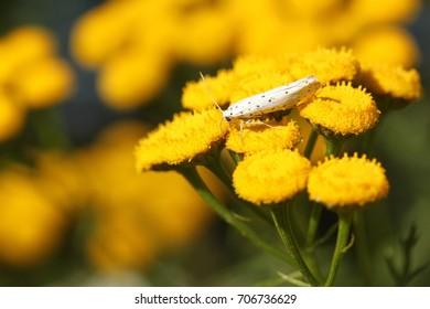 A white butterfly with black dots on a yellow flower      Vit fjäril med svarta prickar på en gul blomma               46/5000                     White butterfly with black dots on a yellow flower