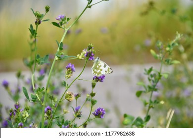 A white butterfly called Ponzia is on a flower with purple petals, in a green garden full of flowers. The wings of the insect are white with olive-colored spots on the lower part.