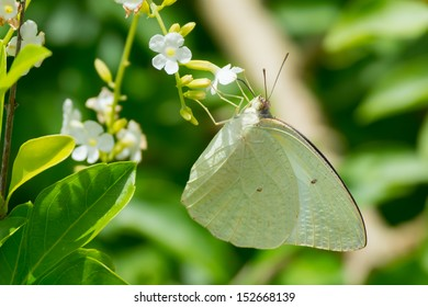 A White Butterfly (Dixeia Doxo) drinking nectar from a flower
