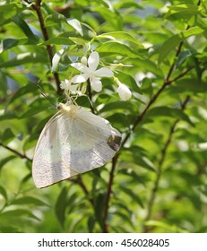 White, Butterfly, Ho Chi Minh City, Vietnam