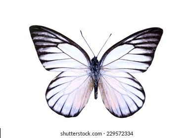 white  butterfly isolated, set of realistic amazing tropical butterflies and alive  bug , zoology,wild ,entomology, beautiful wing collection ,insect animal stuff icon