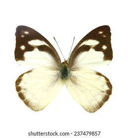 white butterfly isolated, Set of realistic colorful tropical butterflies and insect, zoology,wild ,entomology, one alive exotic butterfly with beautiful wing collection ,insect animal stuff icon
