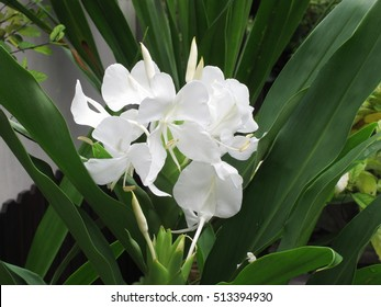 Royalty Free White Ginger Flower Images Stock Photos Vectors