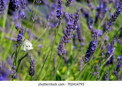 White butterfly on blooming lavender.
